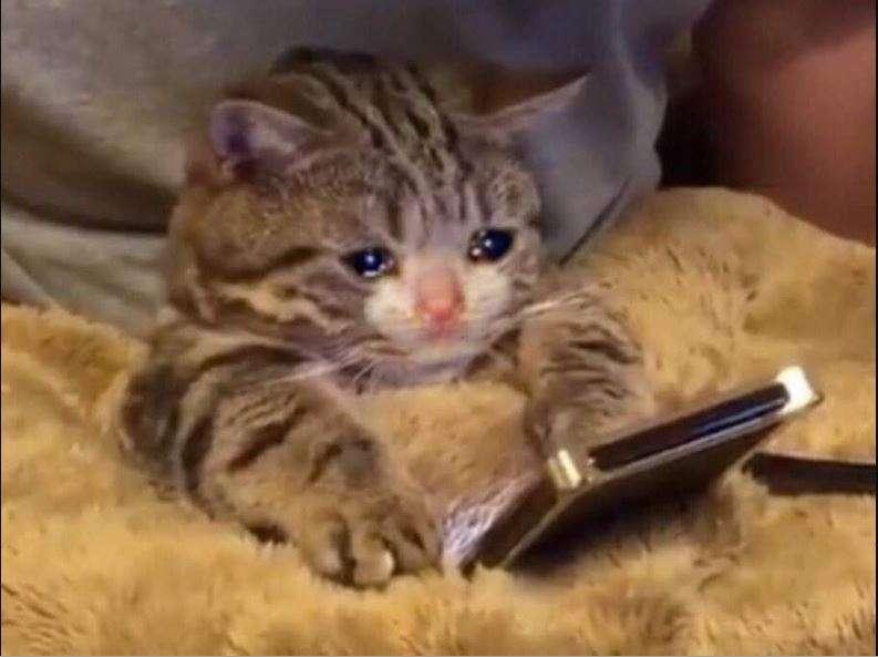 Dato inútil, somos más tragones que amantes de los gatitos (gatito en la lloración)
